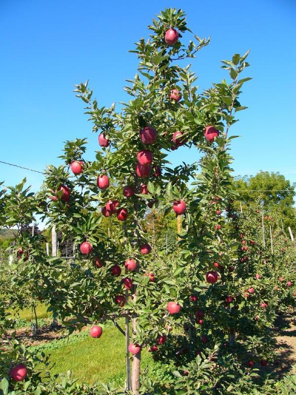 Fruit Trees Tilleraas Nursery
